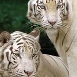 White Tigers at Singapore Zoo are one of the main tourist attractions.