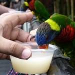 Visitor feeding a Lory at Jurong Bird Park's Lory Loft.